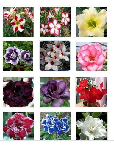 500 Sementes De Rosa Do Deserto Mista