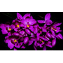 Orquídea Terrestre Espathogllotis Unguiculata Mudas