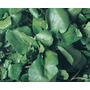 900 Sementes Agrião De Água Folha Larga Topseed Frete Grátis