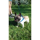 Bulldog Frances Blue Fanw Namoro , Padreador , Cruza