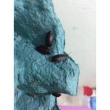 Barata De Madagascar Gromphadorhina Portentosa Gigante 100un