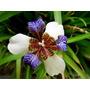 Sementes Iris Sortidas Flor De Lis Flores Bulbos P/ Mudas