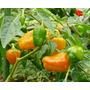 100 Sementes De Pimenta Habanero Orange Laranja Ardida Rara