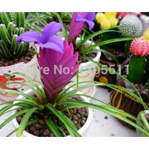 Sementes De Bromélia Tailandesa - 8 Sementes