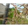 10 Sementes De Citronela Repelente Natural - Frete Grátis