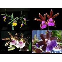Kit 12 Orquídeas Mudas E Adultas Já Florescem