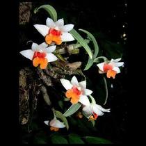 Muda De Orquídea, Dendrobium, Adulta, Linda!