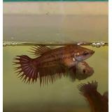 Peixe Betta Red Camboja Crowntail Lote 3 Fêmeas. Promoção!