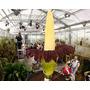 Amorphophallus Titanum - Flor Cadáver (maior Flor Do Mundo)