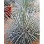 Agave Palito - Gemniflora - Mudas