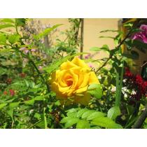 Mudas De Rosas Amarelas