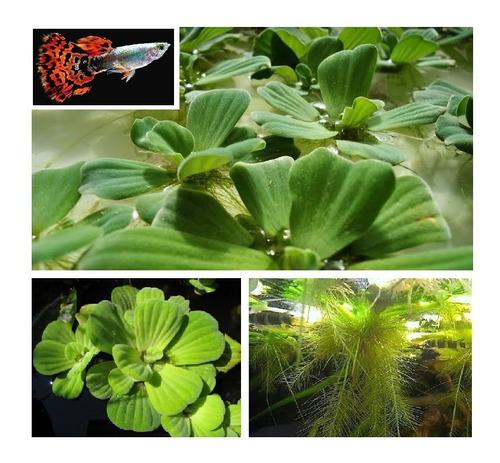Kit 10 Planta Flutuante Alface P/ Alevinos Guppy Lebiste