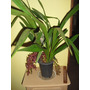 Orquídea Cymbidium Dorothy Stockstill  Adulta Com Flores.