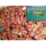 Start Inicial Besouro Amendoim, Alimento Para Peixes, Aves!!