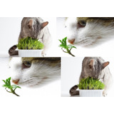 1000 Sementes De Grama-dos-gatos Erva Dos Gatos # Envio Já