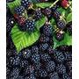 Muda De Amora Preta Gigante (blackberry)
