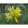 10 Sementes De Trepadeira Jade Amarela Rarissima
