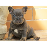 Bulldog Frances Macho Blue And Filhote/canil Minion Bull.