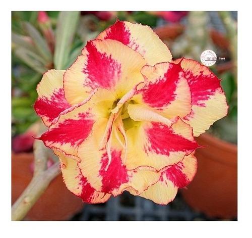 15 Sementes De Rosa Do Deserto Amarela Com Vermelha Dobrada.
