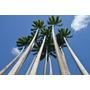 Palmeira Imperial Das Antilhas - Roystonea Sementes P/ Mudas