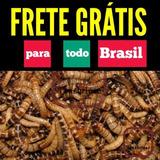 100 Larvas Tenébrio Gigante - Zophobas Morio - Frete Grátis
