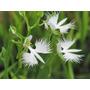 Sementes De Orquídea Garça Branca - Rara 10 Sementes