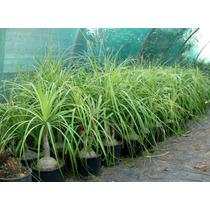 Mudas De Pata De Elevante 15 A 20 Cm (jardim E Decoração)