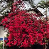 Muda Bougainvillea Vermelha - Atrai Beija Flor E Borboleta