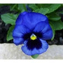 70 Sementes Amor Perfeito Gigante Suíço Azul #glre