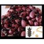Larva Do Amendoim Garantia Vivo