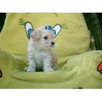 Poodle Micro Toy Lindas Fêmeas