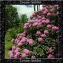 Rhododendron Maximum Azalea Sementes Flor Para Mudas