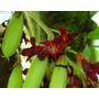 Muda De Bilimbi, Carambola Selvagem, Limão De Caiena Exótica