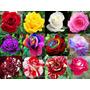 250 Sementes De Rosa Rosa Coloridas (raras Exóticas )p/muda