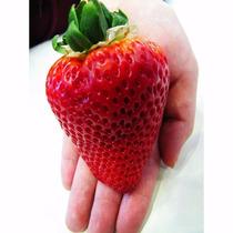 20 Sementes Morango Vermelho Gigante Raro + Frete Grátis!!