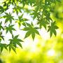 Mudas De Bôrdo Japonês - Acer Palmatum