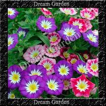 Bela Manhã Mornyng Glory Sortido Sementes Flor Para Mudas