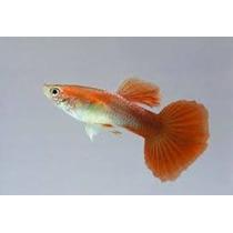 Guppy Red Tail Aquamarine -trio - 1 Macho Duas Femeas