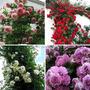 199 Sementes Flor  Trepadeira Amarela Roxa Rosa E Vermelha