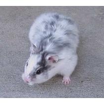 Hamster Sirio - Tudo Sobre A Criação (frete Gratis) Promoção