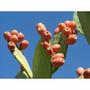 Mudas De Figo Da India - Opuntia Ficus-indica