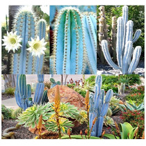 Sementes Cactos Pilosocereus Magnificos Cacto Azul P/ Mudas