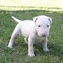 Bull Terrier Filhotes Disponíveis Original
