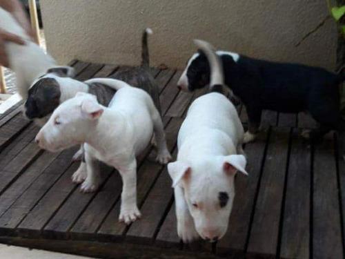 Bull Terrier Filhotes