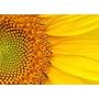 Sementes De Girassol Gigante ¨verdadeiro ¨ 50 Sementes