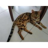 Gato Bengal  Fêmea, Linda Pelagem Último Disponível