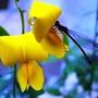 Crotalária Breviflora Flor Combate Dengue Chikungunya E Zika