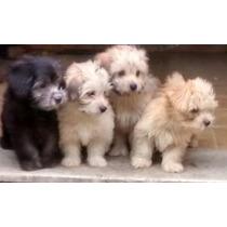 Vendo Filhotes De Poodle Micro Toy Vermifugados E Vacinados