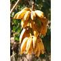 Muda De Banana Figo Banana Pão Rizoma