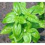 Sementes De Manjericão Alfavaca Basilicão Verde Frete Barato